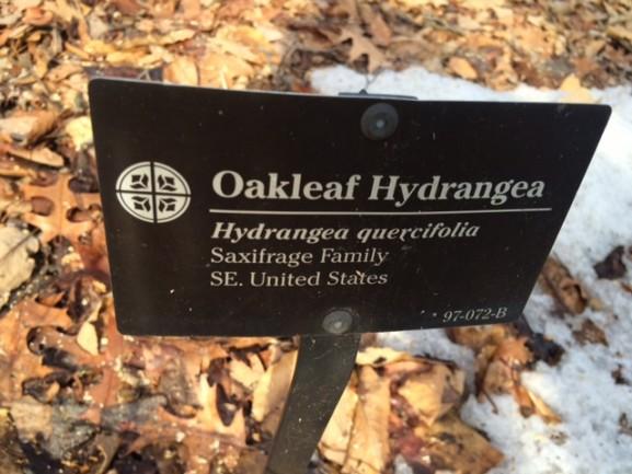 The Oakleaf Hydrangea location at the Morris Arboretum
