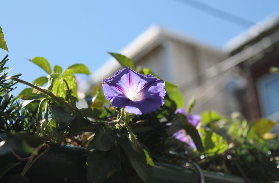 Purple flower grows off vine.