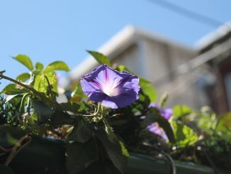Purple flower grows off vine.